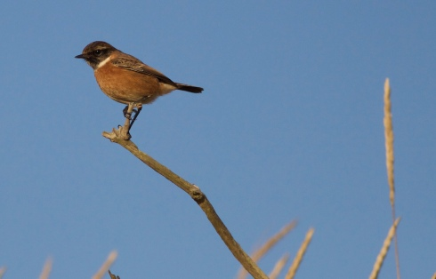 Stonechat at Spurn