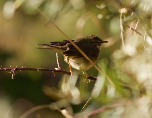 Dusky Warbler down the Point