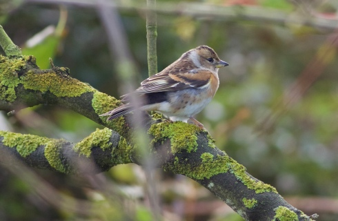 Brambling at Hilston