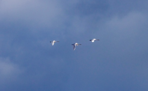 Whooper Swan's south off Tunstall