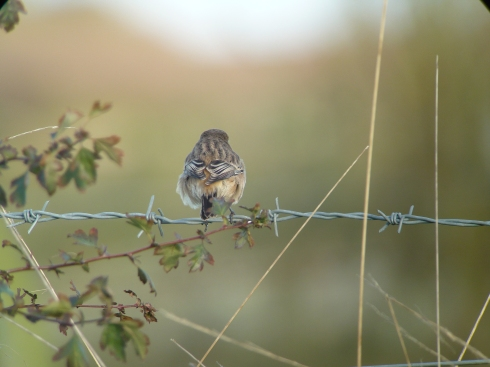 belated pic showing the rump of the Grimston Siberian Stonechat - Tim Isherwood