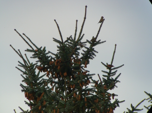 9 Crossbill's at Grimston - Tim Isherwood