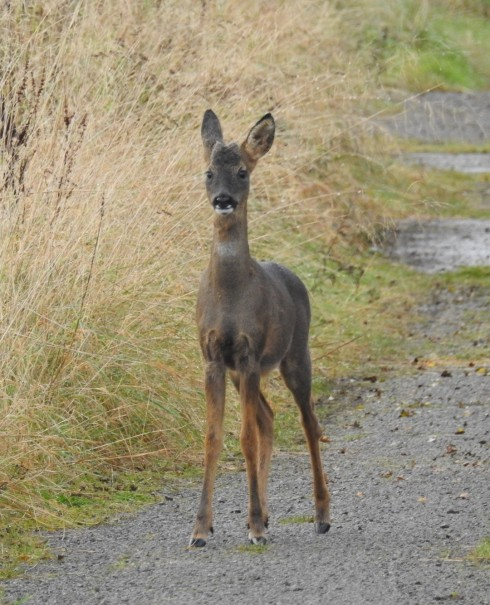 Roe Deer at Cowden - Jeff Cox