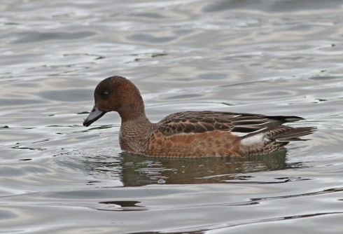 Wigeon from Wassand Hide - Jeff Cox