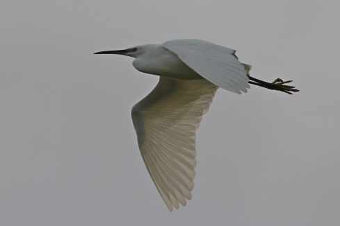 Little Egret - Jeff Cox