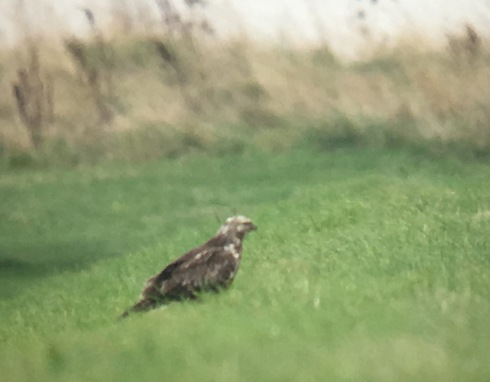 phonescoped Rough-legged Buzzard at Pat Haven