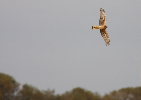 Hen Harrier today around Sunk Island