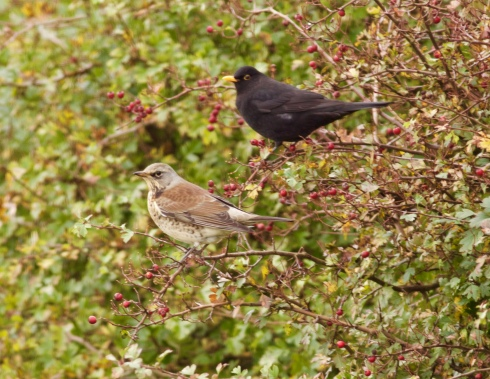 Fieldfare + Blackbird along Winestead Drain