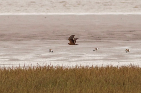 recordshot of juv Pallid Harrier over Welwick Saltmarsh
