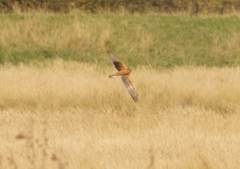 juv Pallid Harrier Welwick Saltmarsh late morning