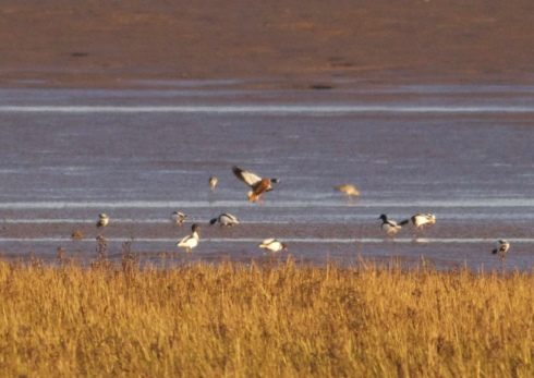 Australian type Shelduck off Pat Haven Pump Station