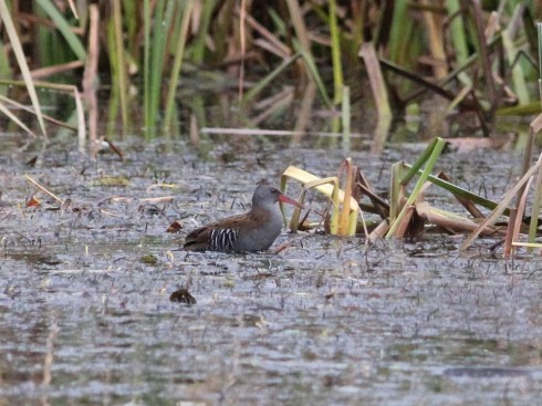 Water Rail in Bull Hole - Jeff Cox