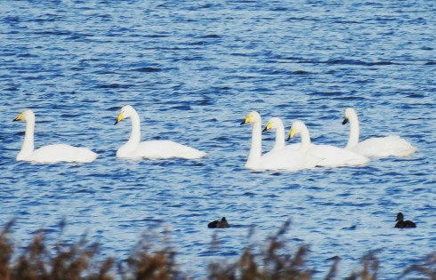 6 Whooper Swan from Wassand Hide - Alan Elkin
