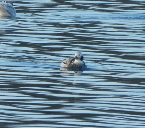 Long-tailed Duck - Ade Johnson