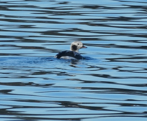 1 of the 2 Long-tailed Duck's present on Mere - Ade Johnson