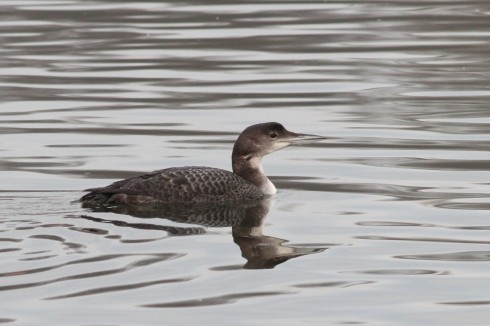Great-northern Diver off the jetties - Jeff Cox
