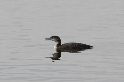 Great-northern Diver - Jeff Cox