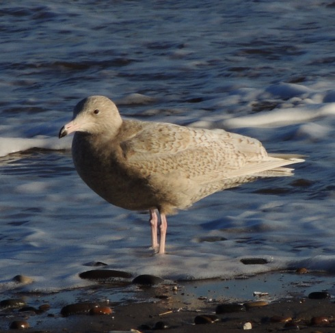 a cracking juvenile Glaucous Gull on Hornsea seafront - Erich Hediger