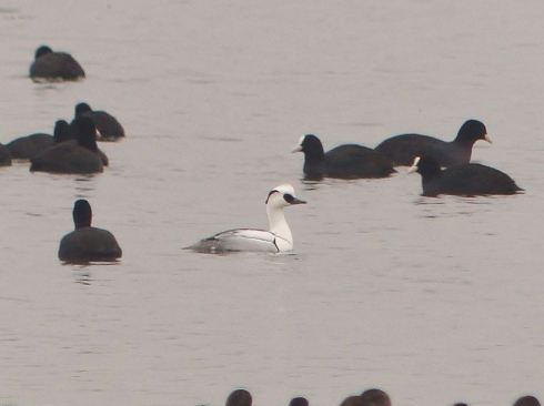 getting scarce these days, a stunning drk Smew on the Mere - Alan Whitehead