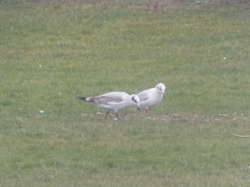 1w Med Gull Hornsea seafront - Tim Isherwood