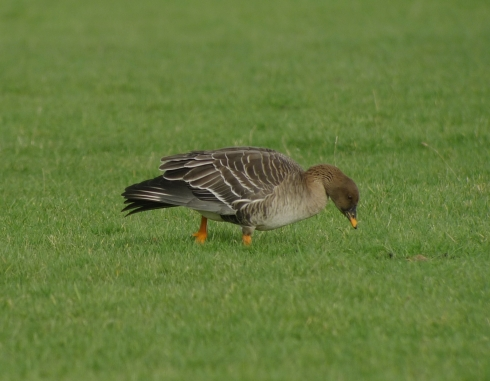 Tundra Bean Goose - Ade Johnson
