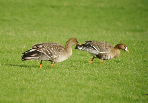 Tundra Bean Goose and White-fronted Goose - Ade Johnson