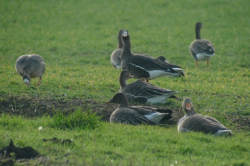 Tundra Bean Geese and White-fronts - Ade Johnson