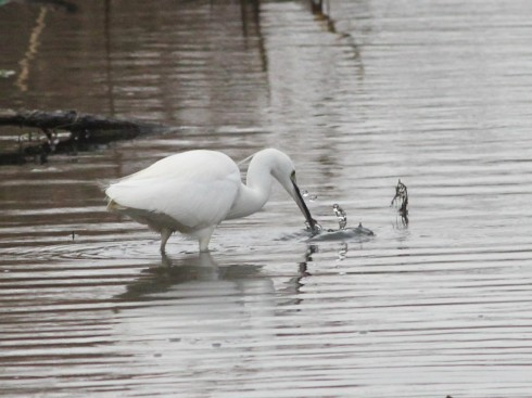 Little Egret fishing on Stream Dyke - Jeff Cox