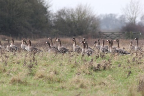 White-fronts and Pink-feet in 1st field - Jeff Cox