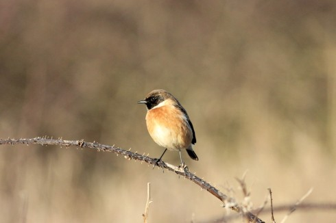 male Stonechat Hornsea South cliff - Jeff Cox