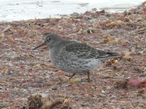 Purple Sandpiper off Longbeaches - Ade Johnson