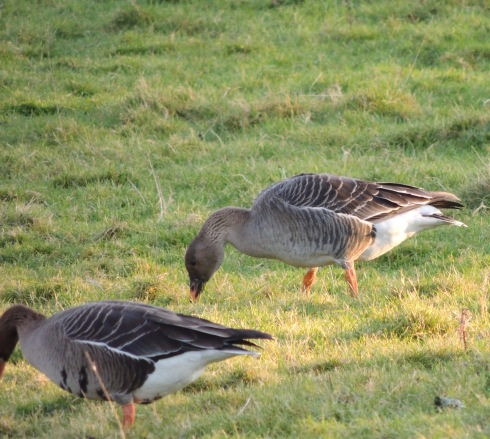 Tundra Bean Goose with the White-fronts - Erich Hediger