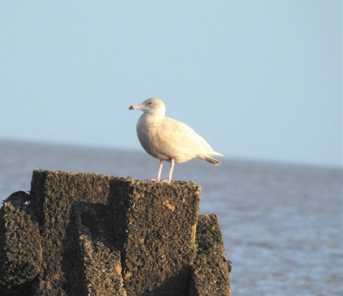 Glaucous Gull Hornsea south shore - Alan Elkin
