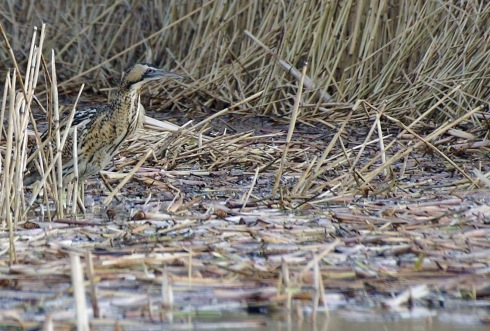 Bittern near the jetties - Steve Tout