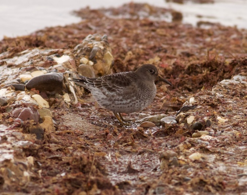 Purple Sandpiper off Longbeaches