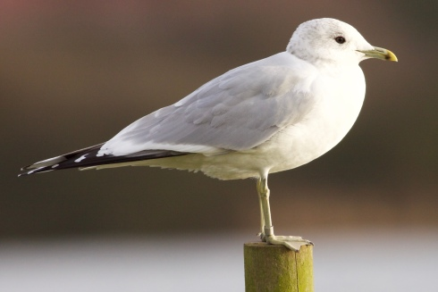 ringed Common Gull on KP
