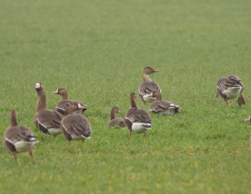 White-fronts and Tundra Bean Goose