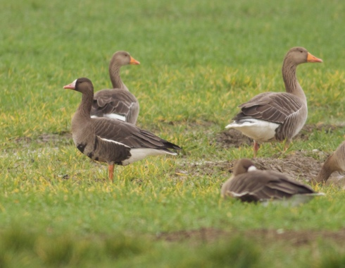 White-fronts and Greylags