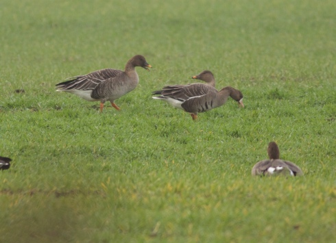 Tundra Bean Geese between Withernwick and Hatfield