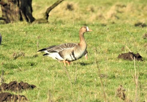 White-fronted Goose near Kirkholme - Alan Elkin