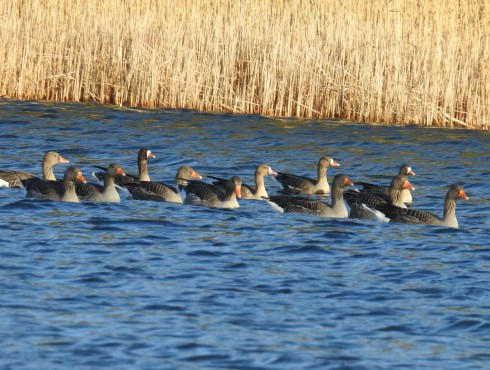 Greylag's and White-fronts on the Mere - Alan Elkin