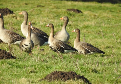 Greylag's and White-fronts - Alan Elkin