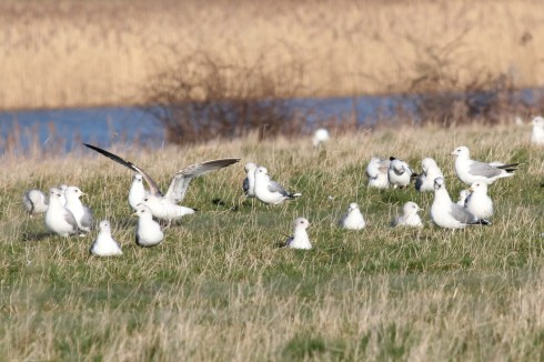 Common Gulls around Heslop's - Jeff Cox